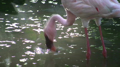 Tropical Pink Flamingo Wades in a Water Pond pool bird nature sunlight Stock Footage