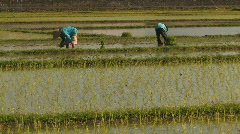 People Working Farm Workers Plant Rice Seedlings Plants  in Paddy Bali Indonesia Stock Footage