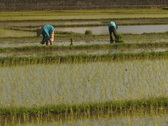 Stock Video Footage of Peasants Plant Rice in Paddy, Bali