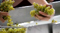 Hand Sorting Winery Grapes Footage
