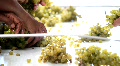 Sorting Wine Grapes at Winery Footage