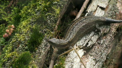 Common lizard breathing Stock Footage