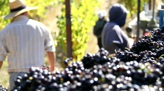Wine Grape Harvest Bin Stock Footage