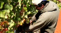 Early Wine Grape Harvest Footage