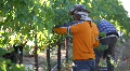 Wine Grape Harvest Men Footage