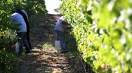 Stock Video Footage of Wine Grape Harvest Workers