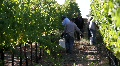 Wine Grape Harvest Footage