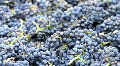 Wine Grapes Dumped into bin Footage