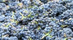 Wine Grapes Dumped into bin Stock Footage
