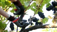 Stock Video Footage of Clipping Wine Grape
