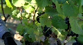 Wine Grape Leaves Footage