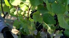 Wine Grape Leaves - stock footage