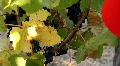 Wine Grapes Harvesting HD Footage