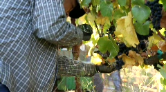 Wine Grape Picker Stock Footage