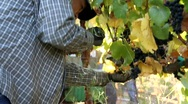 Stock Video Footage of Wine Grape Picker