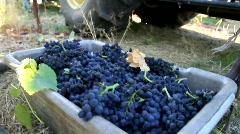 Picking Wine Grape - stock footage
