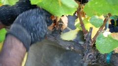 Wine Grape Harvest Stock Footage