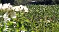 Vineyards Rack Focus Footage