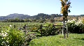 Backyard Vineyard View Footage