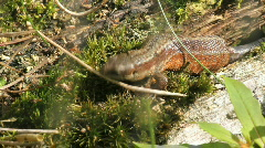 Common lizard flicks tounge Stock Footage