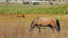 A horse grazes beside a vineyard Stock Footage