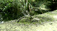 Southern Hawker laying  Stock Footage