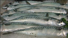 Mackerel Fish for sale Stock Footage