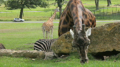 Giraffe cranes head over rocks Stock Footage