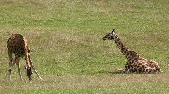 Baby giraffes grazing Stock Footage