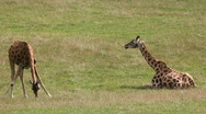 Stock Video Footage of baby giraffes grazing