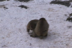 Snow Monkey (Copulating) Stock Footage