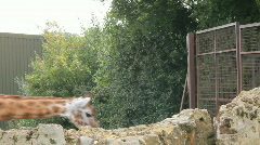 Giraffes pace by gate Stock Footage