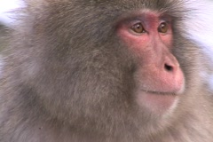 Snow Monkey - Japanese Macaque 4 Stock Footage