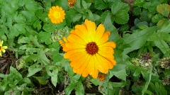 Calendula officinalis ( Pot Marigold ) Stock Footage