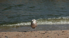Seagull leaving the shoreline Stock Footage