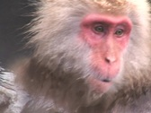 Snow Monkey - Japanese Macaque 3 Stock Footage
