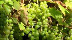 Sunny cluster of green grapes Stock Footage