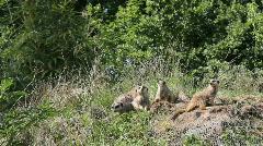Meerkat family on hilltop Stock Footage