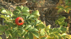 Rosehip buds maturing in the autumn sun Stock Footage