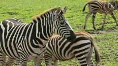 Zebra stand around swishing tails Stock Footage