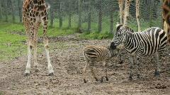 Zebras and giraffe legs Stock Footage