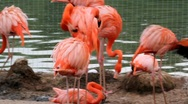 Pink flamingo Stock Footage