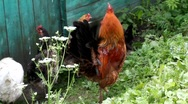 Brown rooster Stock Footage