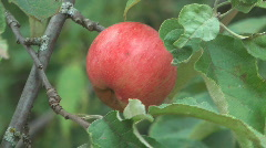 Apple-tree. Stock Footage