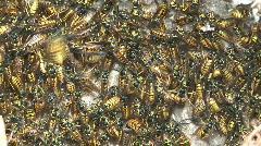Hornet's nest. Stock Footage