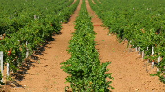 Properly planted grapes Stock Footage