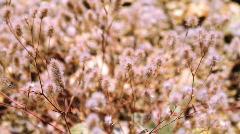 Rabbit's-foot Clover  Stock Footage