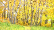 Golden falling leaves tree trunks autumn forest wider view Stock Footage