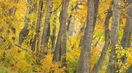 Golden falling leaves tree trunks autumn forest Stock Footage