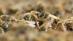 Bees 27 Stock Footage